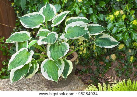 Hosta Planter Against An Ivy Vine Background