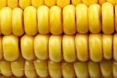 indian corn ( maize ) close up. natural texture poster