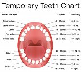 Temporary teeth - names, groups, period of eruption and shedding of the childrens teeth - three-dimensional vector illustration on white background. poster