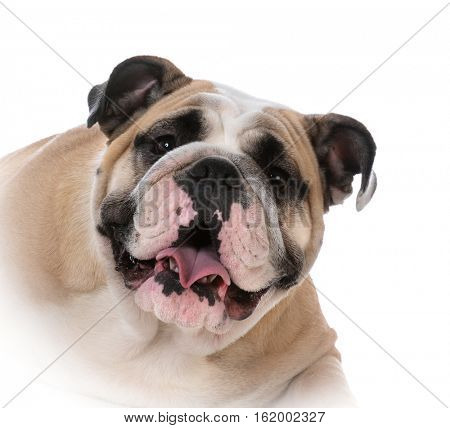 female english bulldog on white background