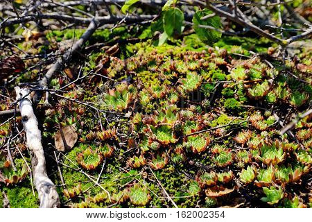 Beautiful succulent plants and dry branches on ground