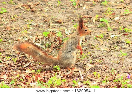 nice squirrel on the ground in the park
