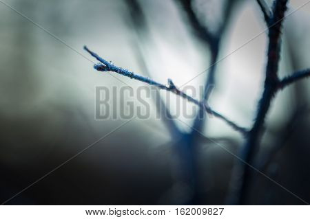 Close Up Of Withered Tree Twig With Rime