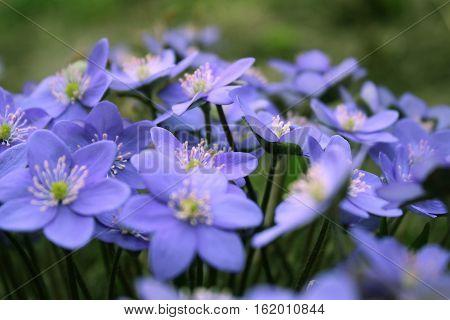 Hepatica nobilis - blooming flowers in early spring blurred background.
