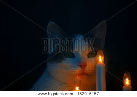 Domestic cat and Christmas lights close up