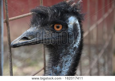 Close-up of an Emu in a Zoo