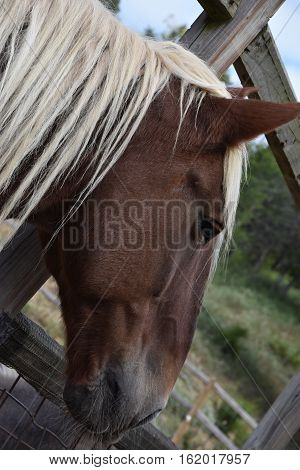 A Beautiful Belgian Horse On A Farm