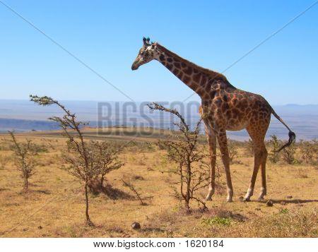 eine wilde Giraffe, Serengeti-Park, Tansania