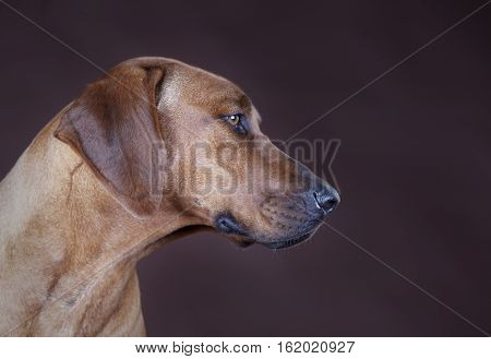 Side od rhodesian ridgeback dog portrait in studio