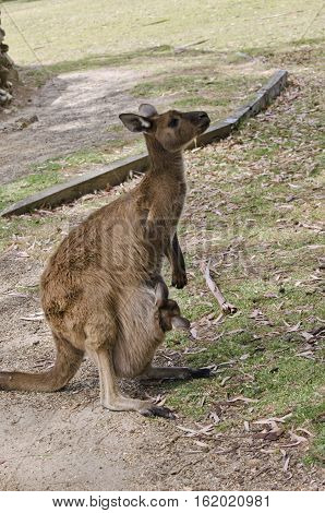 the kangaroo with joey is in the park