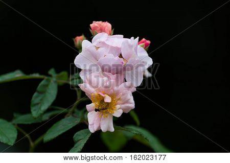 Pink Blush Noisette Rose in southwest florida