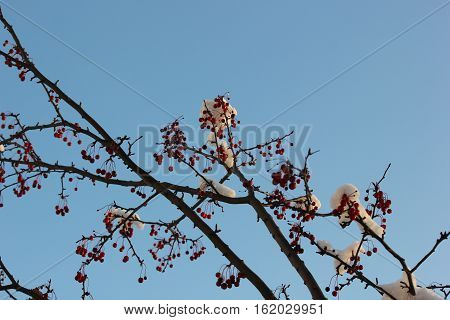 Snow on crab apple tree branch with beautiful blue sky