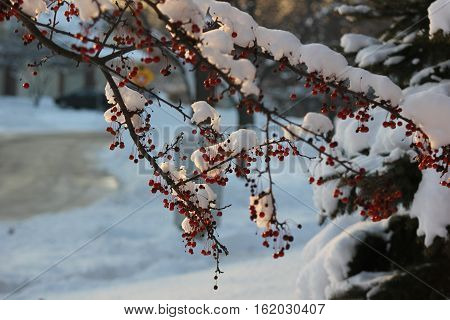 Crab Apple drupes showing beautiful red color with pine tree and fresh snow