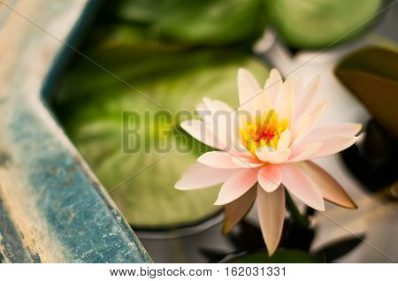 Cloes up of Beautiful Pink Lotus flower in pond