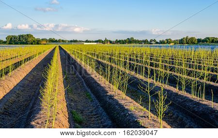 Young freshly green budding asparagus plants in seemingly endless cultivation beds after the harvest season in the Netherlands. It is a sunny evening in the late spring season.