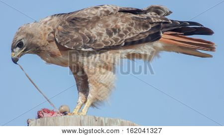 Red-tailed Hawk (Buteo jamaicensis) eating rodent. Palo Alto, California, July 2013.