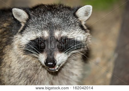 Raccoon (Procyon lotor) headshot. San Francisco, California, USA