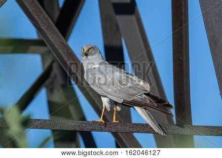 Northern Harrier (Circus cyaneus) male sitting on a transmission tower