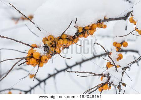 the berries of sea-buckthorn are snowed in