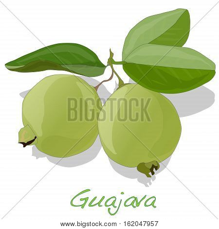 fresh and organic green Guava or Apple Guava (Psidium Guajava) illustration
