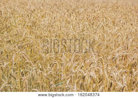 Wheat field in the summer time. Vivid yellow ripe golden wheat.