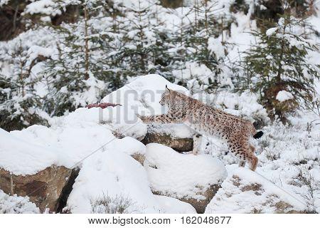 Eurasian Lynx (Lynx lynx) walking quietly in snow lynx in the wild in the rocks in winter
