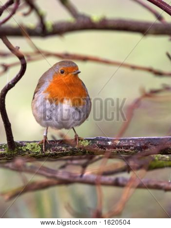 British Robin