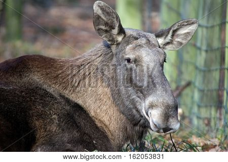 Portrait of a lying elk in a wildpark