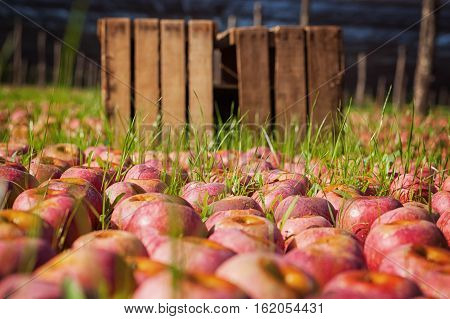 Italian typical ripe apples on the ground