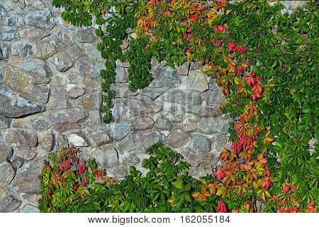 stone wall overgrown with wild grapes with red and green leaves