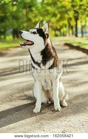 Portrait black and white Husky dog with a smile and his tongue hanging out