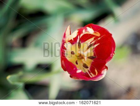 red tulip stamen pistil close-up top view.