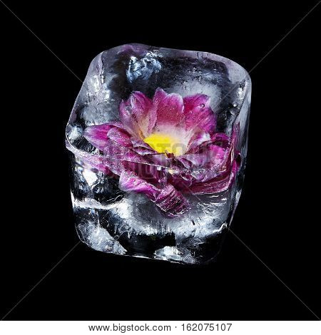 The violet chrysanthemum in ice cube on a black background