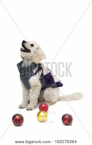 Cute little white poodle in dog clothes isolated on white with Christmas balls
