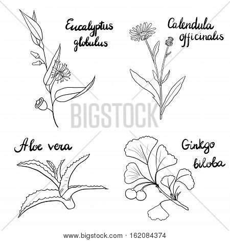 vector set of hand drawn medical herbs, line drawing branches of eucalyptus and ginkgo tree, a flower calendula and aloe plant, isolated floral elements