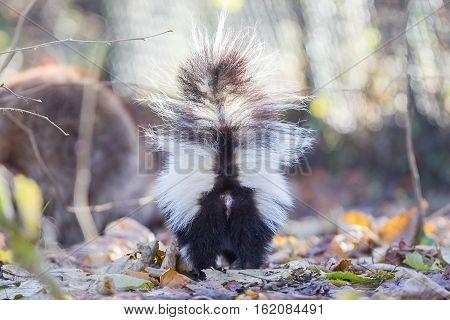 Skunk (mephitis Mephitis) In Winter