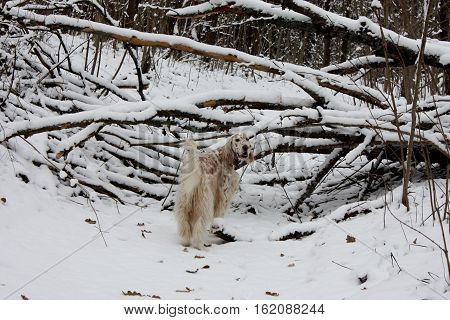 Spotty white setter with long hair in winter wonderland