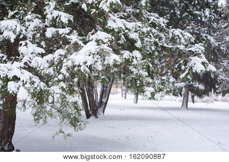 Branches Of Thuja Covered With Snow