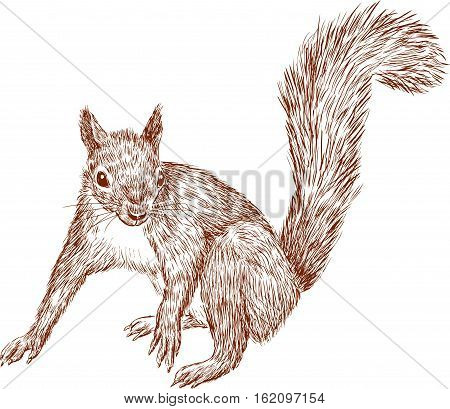 Vector drawing of a forest nimble squirrel.