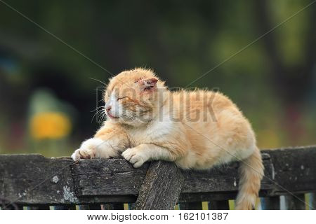 the ragged red cat lying on the wooden fence in the village