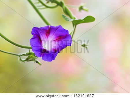 beautiful purple flower of a convolvulus with white streaks
