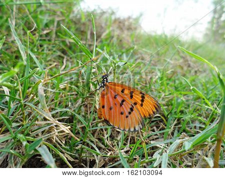 Plain Tiger Butterfly(Danaus chrysippus), Butterfly on the cosmos flower
