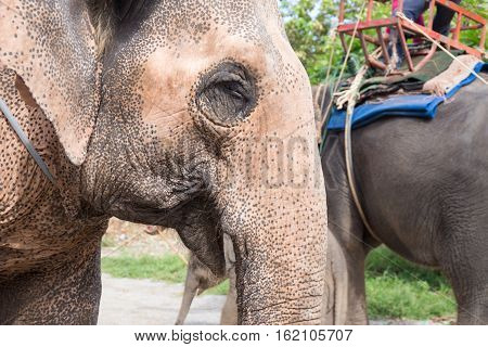 close up elder Asiatic elephant face with spot and wrinkle skin