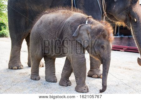 1 year cute baby Asiatic elephant with mother background