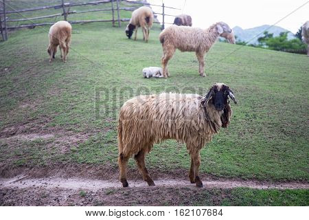 black face sheep on green grass field and sheeps background