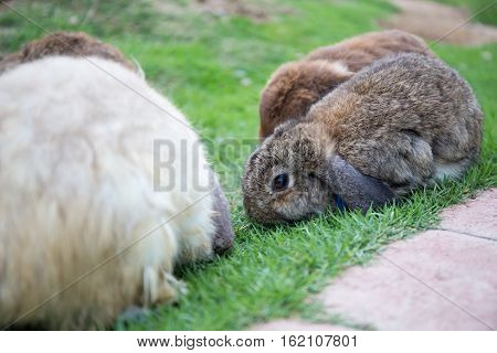 baby brown rabbit eating green grass on field surrround with rabbits