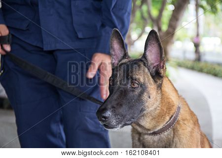 k-9 young german shepherd dog on duty stand looking and focus to someone beside police trainer