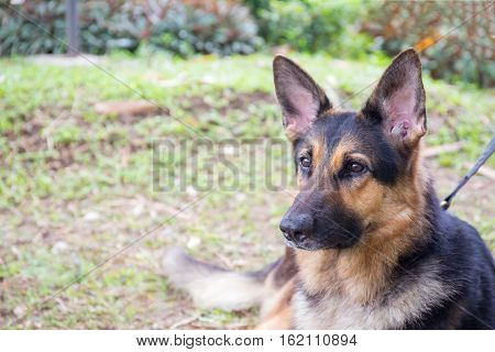 Alsatian dog in police k-9 unit portrait with grass field background