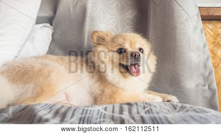 Pomeranian Dog Relax On Bed.