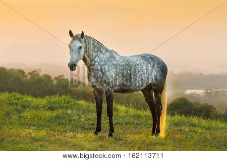 White beautiful horse standing in green field against sunset landscape
